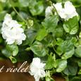 白いニオイスミレ