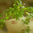 ボウルに植えたプミラ