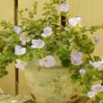 薔薇の鉢とバコバ